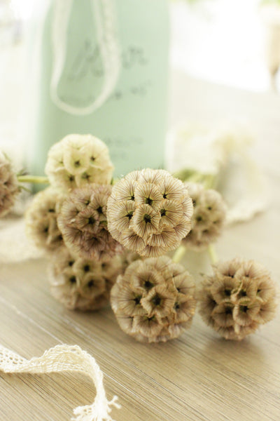 Scabiosa Pods - 10 stems (free shipping) - DIY Wedding | Showers | Event | Holidays