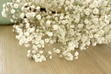 Fresh Baby's Breath Gypsophila - 10 stems (free shipping)