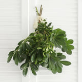 Fresh Green Pittosporum 5-6 stems (free shipping)