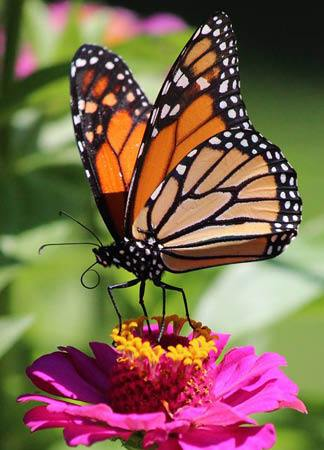 Monarch at Home