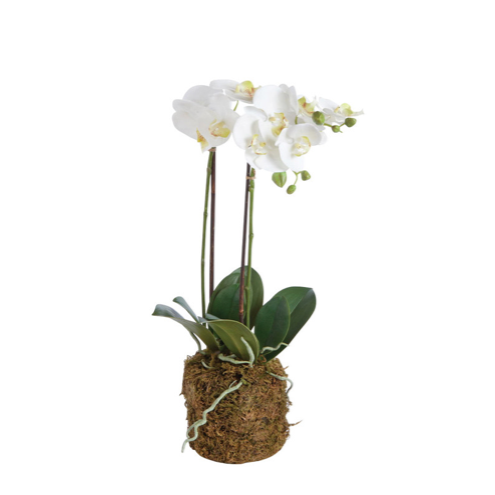Phalaenopsis X 2 Drop-In 23""