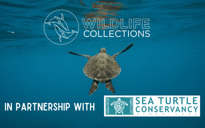NBC Recognizes Wildlife Collections as the Only Legitimate Tracking Partner of Sea Turtle Conservancy