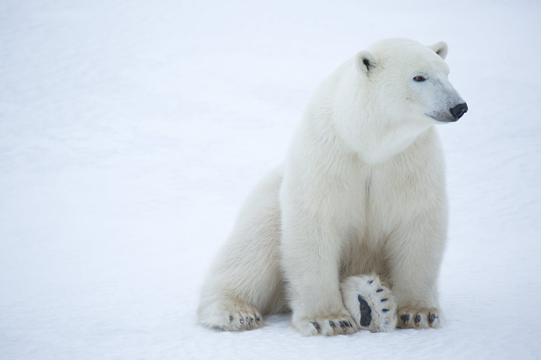 Track a Polar Bear with Each Bracelet | Wildlife Collections