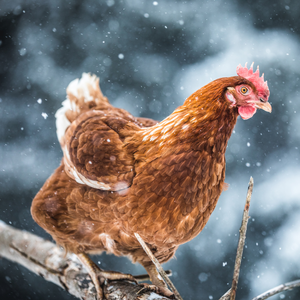 Happy Hens During the Winter Months