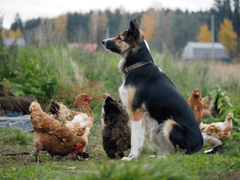 Chickens and Family Pets
