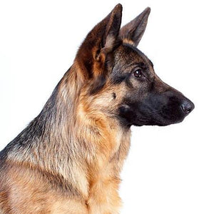 side profile of german shepherd dog