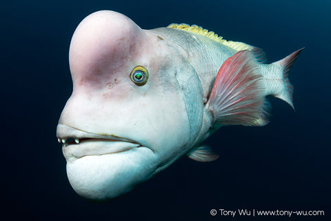 asian sheepshead wrasse portrait, tony wu