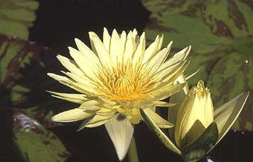 KEY LIME (M-L) Tropical Water Lily-Day Blooming (Yellow)