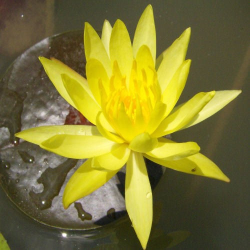 MEXICANA (S-M) Semi-hardy Waterlily(Yellow)