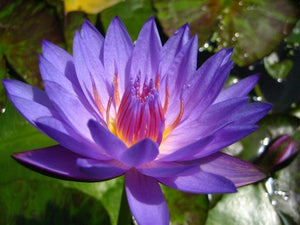 LAURA FRASE (M-L) Tropical Water Lily Day Blooming (Blue)