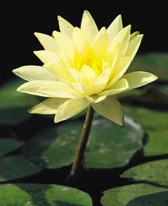 JOEY TOMOCIK (M) Hardy Water Lily (Yellow)