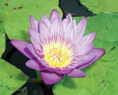 PANAMA PACIFIC (M) Tropical Water Lily-Day Blooming (Purple)