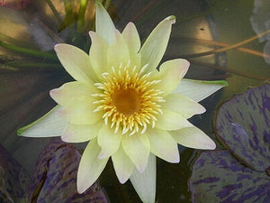 Stan Skinger (M) Tropical Water Lily-Day Blooming (Yellow)