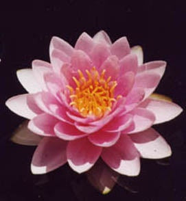 HOLLANDIA (M-L) Hardy Water Lily (Pink)