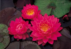 Perry's Fire Opal (M) Hardy Water Lily (Pink)