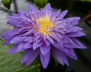 KING OF SIAM (M) Tropical Water Lily-Day Blooming (Purple)