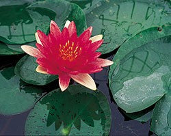 Steven Strawn (M) Hardy Water Lily (Red)