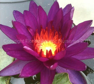 Purple Fantasy (MD) Hardy Water Lily