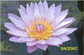 BAGDAD (M-L) Tropical Water Lily-Day Blooming (Blue)