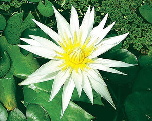 CRYSTAL (M-L) Tropcial Water Lily-Day Blooming (White)