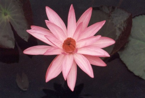 TEXAS SHELL PINK (M-L) Tropical Water Lily Night Blooming (Pink)