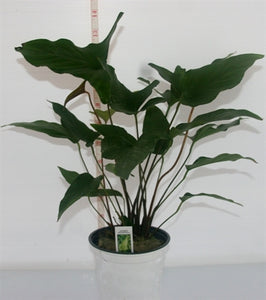 Anubias Hastifolia XL bare root