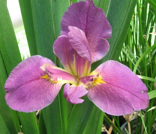 IRIS, LOUISIANA PROFESSOR CLAUDE, red-violet Hardy Marginal Plant (Qty of 6)