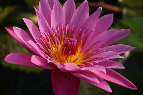 EVELYN RANDIG (M-L) Tropical Water Lily Day Blooming (Pink)