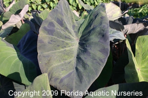 TARO, BLACK MARBLE (Colocasia multiflora Black Marble) (Qty of 6)