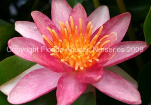 INDIANA (M) Hardy Water Lily (Changeable)