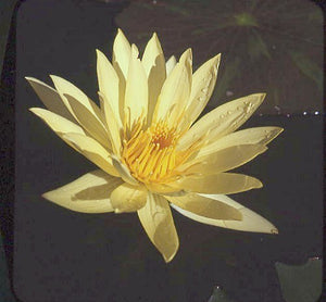 St. Louis Gold (M-L) Tropical Water Lily-Day Blooming (Yellow)