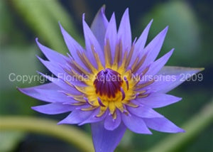 Rhonda Kay (M-L) Tropical Water Lily Day Blooming (Purple)