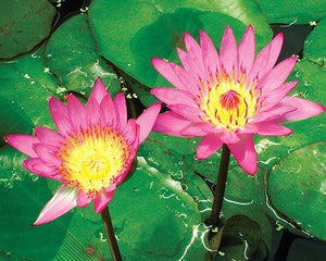 RUBY (M-L) Tropical Water Lily-Day blooming (Red)
