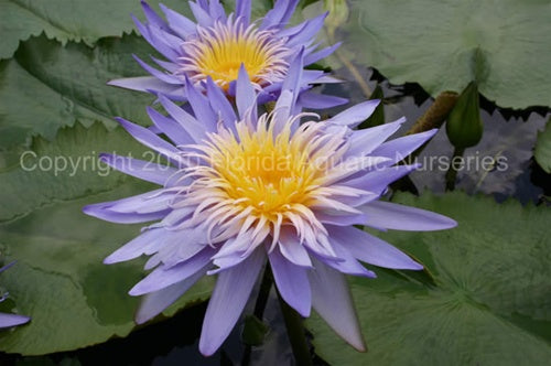 Nymphaea 'Alexis' (M-L) Tropical waterlily-Dayblooming