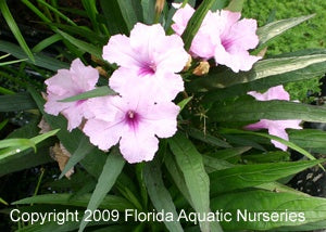 Blue Bell Compacta Pink (Ruellia Brittoniana Pink Katie) (Qty of 6)
