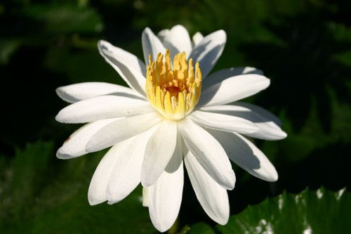 JUNO (M) Tropical Water Lily Night Blooming White