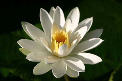 TRUDY SLOCUM (M) Tropical Water Lily Night Blooming (White)
