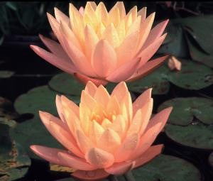 CLYDE IKINS (M) Hardy Water Lily (Peach)