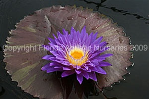 Ultra Violet (M) Tropical Water Lily Day Blooming (Purple)