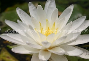 Perry's Double White (M) Hardy Water Lily (White)