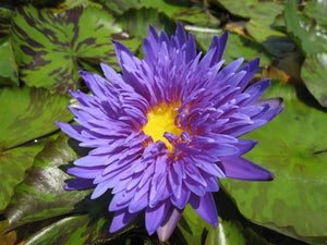 BLUE ASTER (M) Tropical Water Lily-Day Blooming (Blue)