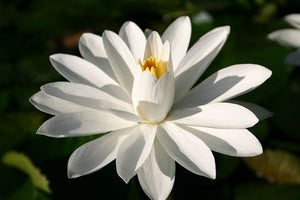 WOOD'S WHITE KNIGHT (M-L) Tropical Water Lily Night Blooming (White)