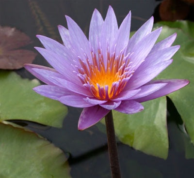ISLAMORADA (M) Tropical Water Lily Day Blooming (Purple)