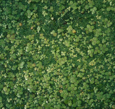 DUCKWEED (Lemna minor)(2 lbs portion)