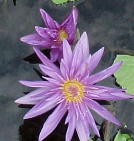 LEOPARDESS (M) Tropical Water Lily-Day Blooming (Blue)