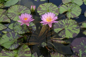 Nymphaea  'Coral Sky' (M) Tropical Water Lily Day Blooming (Autumn)