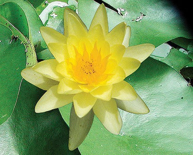CHROMATELLA (M) Hardy Water Lily (Yellow)