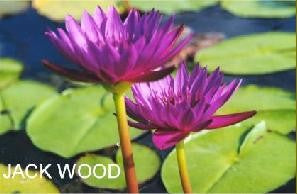 JACK WOOD (M-L) Tropical Water Lily-Day Blooming (Red)
