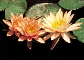Peach Glow (M) Hardy Water Lily (Peach)