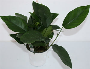 Anubias Nangi Mother